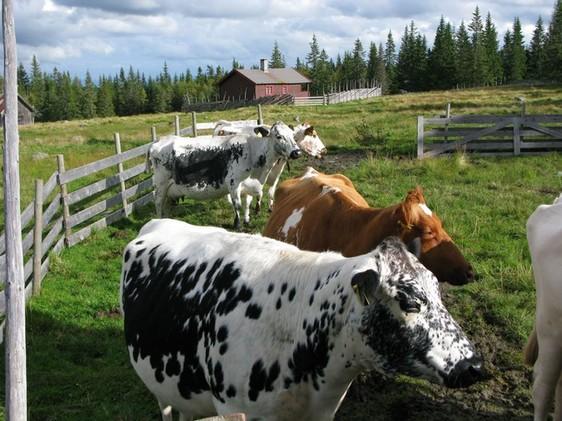 Ommang Søndre gård - kuer