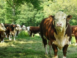 Jarlsbergfe og Aberdeen Angus kjøttfe